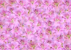 Lilies. Pink lily background close up royalty free stock images