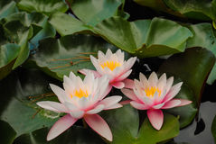 Lilies. Royalty Free Stock Images