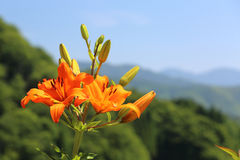 Lilies in plateau Stock Photo