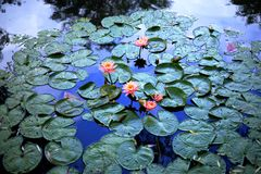 Lilies on the pond. A carpet of lilies on the calm waters of the pond dissolving in the reflection of the blue sky Stock Photos