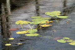 Lilies on pond while raining Royalty Free Stock Photos