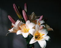 Lilies Stock Photography