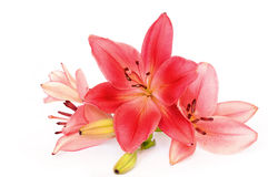 Lilies. Red lilies isolated on white background Royalty Free Stock Photo