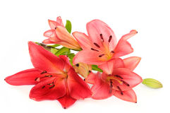 Lilies Stock Photo