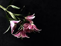 Lilies Still life Stock Photography
