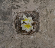 Lilies in stone. Beautiful flower in the rocks Stock Photography