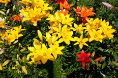 Lilies in a colorful garden. Lilies in a sunny, colorful garden stock photography