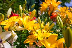 Lilies in a colorful garden. Lilies in a sunny, colorful garden stock image