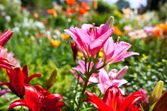 Lilies in a colorful garden. Lilies in a sunny, colorful garden stock photo