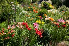 Lilies in a colorful garden. Lilies in a sunny, colorful garden royalty free stock photography