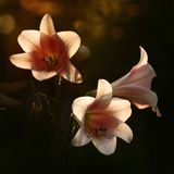Lilies in sunshine. Three Lilies in sunshine on dark background royalty free stock photo