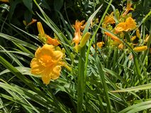 Lilies. Tiger Lilies starting to bloom. Flowers in the flower garden at McKennan Park in Sioux Falls, S.D Stock Photography