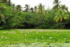 Lilies on the tropical lake in Hawaii Big Island stock image