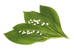 Lilies of the valley. Stock Photos