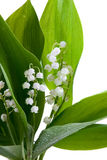 Lilies of the valley. White lilies of the valley in drops of water on a white background Royalty Free Stock Photos