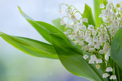 Lilies of the valley. Beautiful Lilies of the valley closeup on the blurry background Stock Images