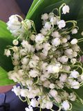 Lilies of the valley. Beautiful flowers from Russia royalty free stock image