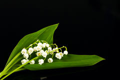 Lilies of the valley Stock Image