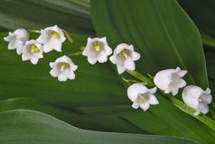 Lilies of the valley royalty free stock photos