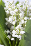 The Lilies of the valley closeup. Lilies of the valley closeup Stock Image