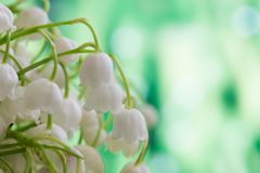 Lilies of the valley, floral background. Floral background with lily of the valley stock images