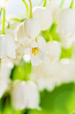 Lilies of the valley, flower closeup Stock Photos