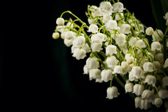 Lilies of the valley in flowerpot Stock Photo