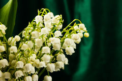 Lilies of the valley in flowerpot Stock Image