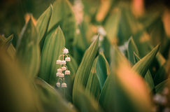 Lilies of the valley flowers Royalty Free Stock Photo