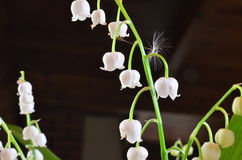 Lilies of the valley. Flowers of Polish forests Stock Image