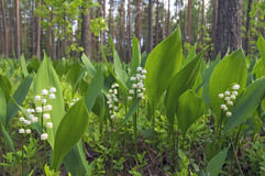 Lilies of the valley in the forest Stock Photography