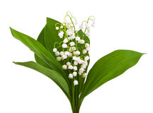 Lilies of the valley isolated on white Royalty Free Stock Image