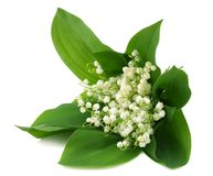 Lilies of the valley isolated on white background royalty free stock photos