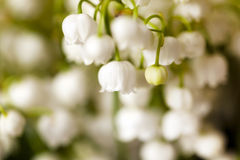 Lilies of the valley Stock Photography