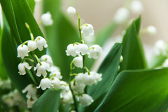 Lilies of the valley. White bells with green leaves, the background is blurred, picture up close Stock Photo