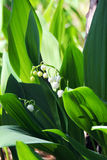 Lilies of the valley in the woods Royalty Free Stock Image