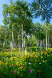 Lilies and White birch Stock Image