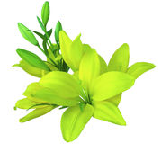 Lilies yellow-green flowers,  on a white background,  isolated  with clipping path. beautiful bouquet of lilies with green leaves, Royalty Free Stock Photos