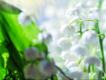 Liliess da mola do vale Imagem de Stock Royalty Free