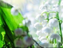 Liliess de la primavera del valle Imagen de archivo libre de regalías