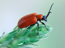 Lilii de Lilioceris del escarabajo Foto de archivo libre de regalías