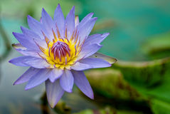 lilii fioletowego wody Zdjęcia Royalty Free