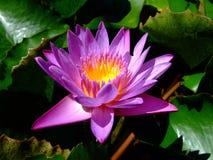 lilii fioletowego wody Obraz Stock