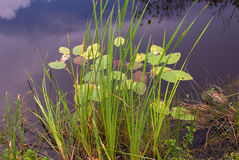 lilii kanałowa trzcin wody Fotografia Royalty Free