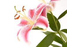 lilii róż zdjęcia royalty free