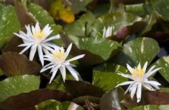lilii trzy wody Zdjęcia Stock