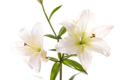 Liliies Stock Image
