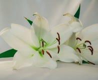 Liliies branco Fotografia de Stock Royalty Free