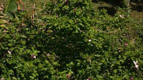 Liliiflora Magnolia λουλουδιών άνθησης σε ένα δέντρο Χλωρίδα Monte απόθεμα βίντεο