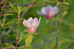 Liliiflora Magnolia Στοκ Εικόνες